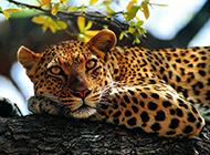 亞洲花豹圖片高清動物壁紙下載