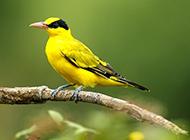 安静优雅的金黄鹂鸟图片