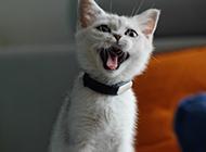白色中華田園貓伸舌頭圖片
