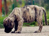加纳利犬幼崽可爱图片抓拍