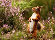 花丛中的小松鼠高清图片