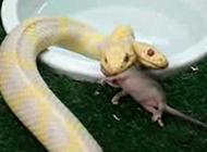 實拍罕見雙頭白蛇進餐全過程 生吞一只老鼠