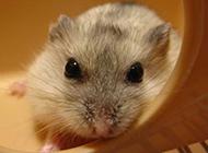 眼神靈動的反黑布丁倉鼠圖片