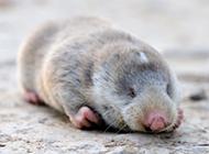草原鼢鼠慵懒姿态图片