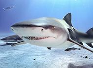 兇猛大鯊魚牙齒鋒利圖片