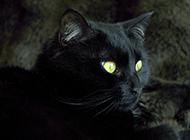 孟买猫姿态优雅高贵图片
