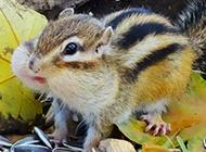 可爱吃货花栗鼠图片