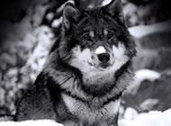 雪地飞奔的狼青雪狼图片