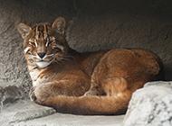 姿態慵懶愜意的金貓圖片