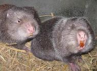 吃竹子的動物竹鼠養殖場圖片