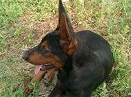 莱州红犬图片凶猛虎系
