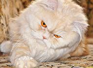 霸气的琥珀色眼睛波斯猫图片