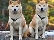 兩只可愛的秋田犬照片