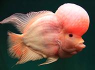珍贵高档的元宝罗汉鱼图片