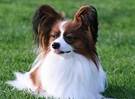 草地上的垂耳蝴蝶犬圖片