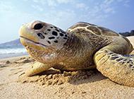 慢條斯理的黑海龜圖片欣賞