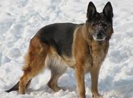 雪地中的德国牧羊犬图片欣赏