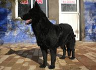 忠厚雄壮的黑熊犬图片
