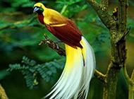 美丽的红羽天堂鸟图片
