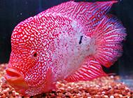 颜色鲜艳的珍珠罗汉鱼图片