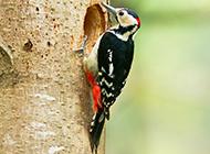 花腹绿啄木鸟图片壁纸精选
