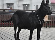 黑狼犬身姿威猛霸气图片