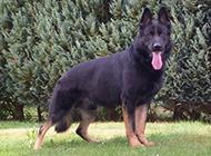 相貌凶猛书帅气的东德牧羊犬图片