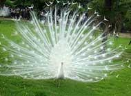 美丽的孔雀欣赏