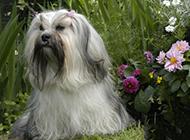 優雅高貴的拉薩犬圖片
