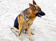 德國黑背狼犬圖片模樣帥氣