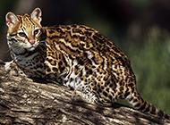 真正的純野生豹貓圖片壁紙