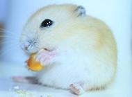 小布丁仓鼠吃东西图片