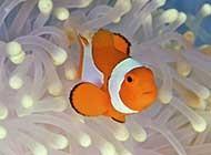 海洋里可愛的小丑魚高清圖片