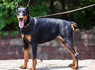 肌肉杜宾犬帅气写真图片