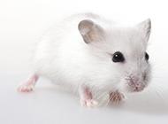 呆萌小巧的小白鼠图片