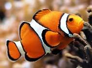 美麗的小丑魚