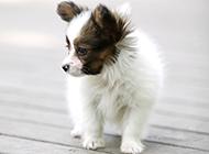 三个月大蝴蝶犬幼犬图片壁纸