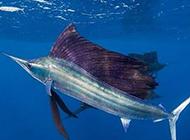 游泳能手美國旗魚圖片