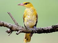 小黄鹂鸟羽毛艳丽图片