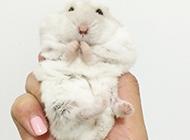 嬌小可愛的奶茶倉鼠圖片