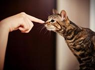 可愛貍花貓逗趣玩耍圖片