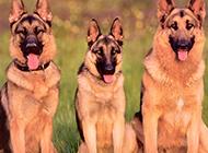 帥氣的狗狗短毛德國牧羊犬圖片