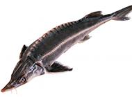 中國鱘魚特寫圖片高清