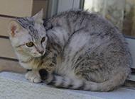埃及猫图片姿态优雅安静