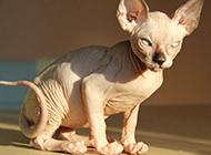 眼神凌厉的斯芬克斯猫图片