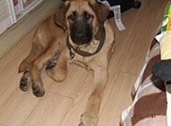 土耳其坎高犬凶猛忠诚图片