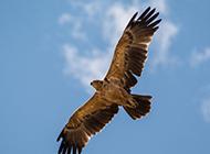 藍天下飛翔的老鷹圖片