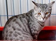 可愛寵物埃及貓圖片