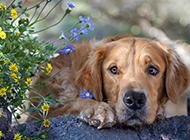 大型纯种的金毛狗图片壁纸高清