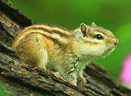 树枝上可爱的花栗鼠图片